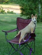 Сеппальская ездовая собака на кресле