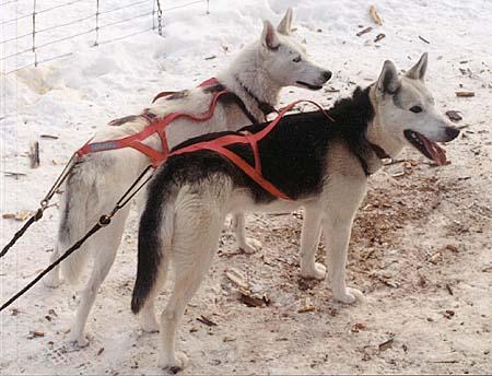 Сеппальская ездовая собака фото