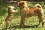 Шарпей и его щенок