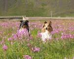 Собаки шелти в цветах