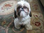 Собака ши-тцу на ковре