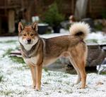 Собака Шикоку в снегу