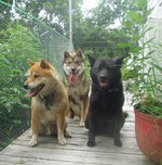 Собаки Шикоку