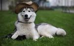 Сибирский хаски-фотограф