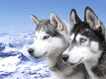 Сибирские хаски на горе