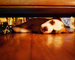 Леопардовая собака Катахулы спит
