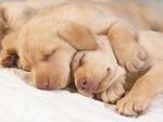 Щенки золотистого ретривера спят
