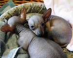 Щенки мексиканской голой собаки спят