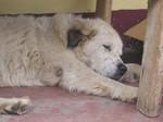 Собака мукучиес спит