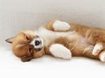 Вельш-корги пемброк спит