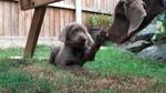 Словацкий грубошерстный ставач со своим щенком