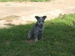 Маленькая австралийская короткохвостая пастушья собака