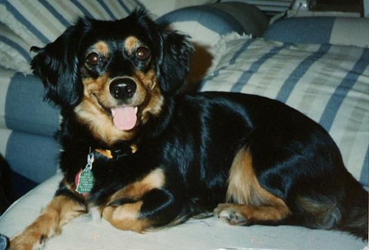 Малая греческая собака фото