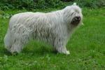 Южнорусская овчарка на траве