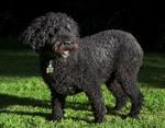 Испанская водяная собака на траве
