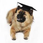 Собака евразиер-студент