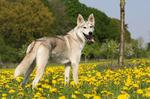 Летнее фото тамасканской собаки