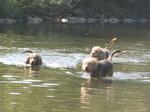Собаки оттерхаунд плавают