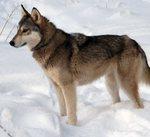 Тамасканская собака в снегу