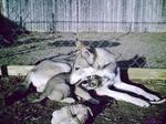 Тамасканская собака со своим щенком