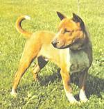 Собака теломиан