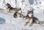 Три аляскинских маламута зимой