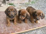 Три щенка альпийской таксообразной гончей