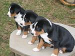 Три щенка аппенцеллер зенненхунда