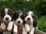 Большой вандейский бассет-гриффон щенки