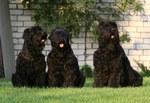 Три русских черных терьера