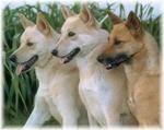 Три ханаанские собаки