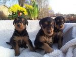 Три милых щенка эрдельтерьера