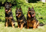 Три чешские пастушьи собаки