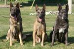 Три милые голландские овчарки