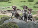 Три собаки курцхаар
