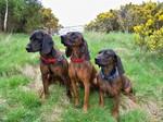 Три ганноверских гончих