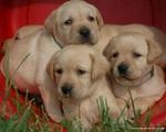 Три щенка лабрадора ретривера