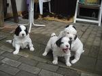 Три щенка собаки ландсир