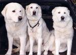Три мареммо-абруццкие овчарки