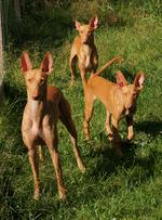 Три фараоновы собаки