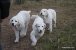 Три польские подгалянские овчарки