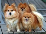 Три померанских шпица