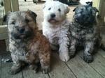 Три собаки сапсари