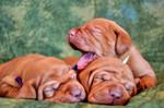 Три щенка венгерской выжлы