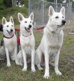 Три белые швейцарские овчарки