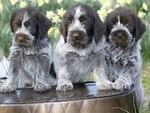 Три щенка грифона кортальса