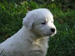 Щенок собаки торньяк