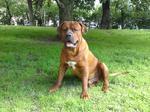 Собака тоса-ину в парке