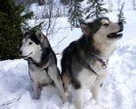 Два взрослых аляскинских маламута
