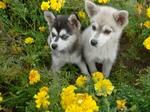 Два аляскинских кли-кая в цветах